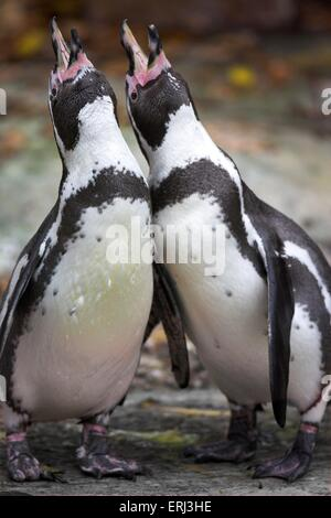 penguins perform the courtship display - Stock Photo