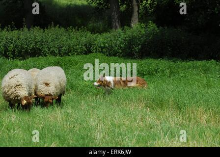 shepherding Border Collie - Stock Photo