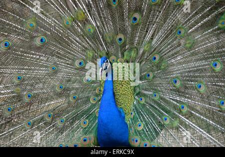 Blue Peacock (Pavo cristatus), courtship display with spread feathers, Majorca, Balearic Islands, Spain - Stock Photo