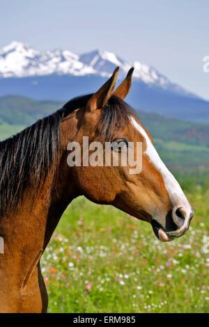 Bay Arabian Gelding, standing in summer meadow, portrait - Stock Photo