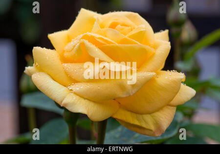 Rose 'Arthur Bell' yellow bloom with dew drops - Stock Photo