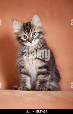 sitting Siberian Forest Kitten - Stock Photo