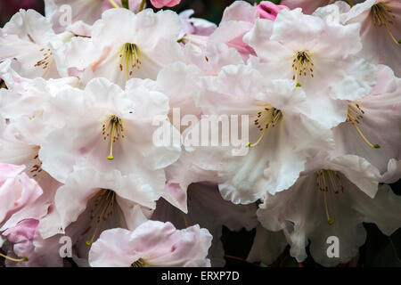 White rhododendron flowers in full bloom. - Stock Photo