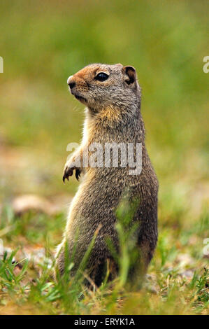 Columbian ground squirrel spermophilus columbianus in Glacier national park ; USA United States of America - Stock Photo