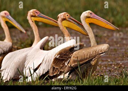 White pelican pelecanus onocrotalus eastern great white pelican Keola Deo Ghana national park Bharatpur - Stock Photo