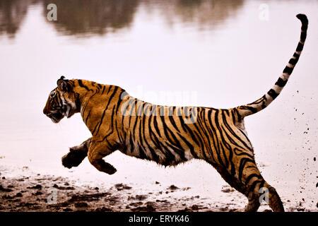Tiger panthera tigris tigris running in lake ; Ranthambore national park ; Rajasthan ; India - Stock Photo
