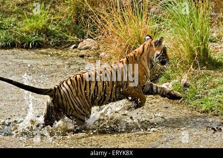 Tiger panthera tigris tigris jumping out of waterhole ; Ranthambore national park ; Rajasthan ; India - Stock Photo