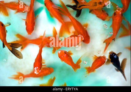 Aquarium fish ; cyprinidae carassius auratus red cap ; Oranda ; West Bengal ; India - Stock Photo