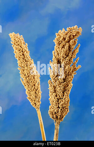Jowar Sorghum bicolour food grains from Maharashtra India - Stock Photo