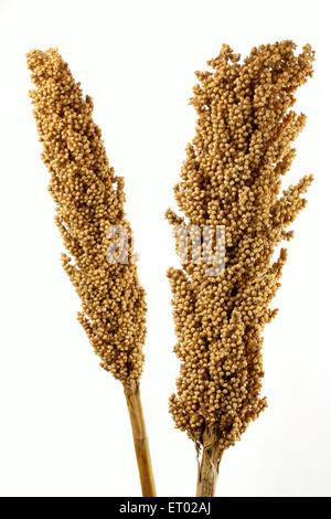 Jowar Sorghum bicolour food grains from Maharashtra India - Stock Photo