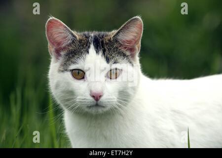 Hauskatze, Haus-Katze (Felis silvestris f. catus), Portraet einer weiss-getigerten Katze | domestic cat, house cat - Stock Photo