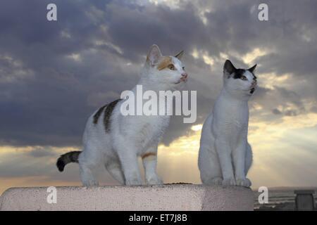 Hauskatze, Haus-Katze (Felis silvestris f. catus), zwei Katzen sitzen auf einer Hafenmauer im Sonnenuntergang, Zypern, - Stock Photo