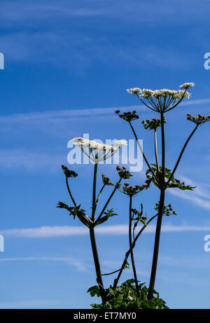 Cow parsnip, Heracleum lanatum, against a bright, blue sky with copyspace - Stock Photo
