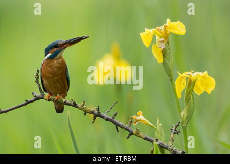 European Kingfisher with prey with Yellow iris flowers - Stock Photo
