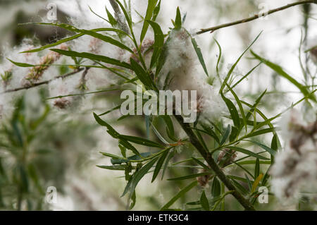A close up of an Osier branch, Salix, with bursting catkins, shedding it's seeds. - Stock Photo