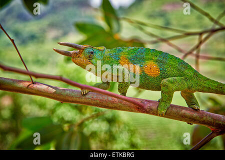 Jackson's three-horned chameleon, Trioceros jacksonii, Bwindi Impenetrable National Park, Uganda, Africa - Stock Photo