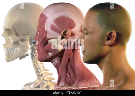 Illustration showing the surface anatomy, musculature and skeletal structure of the face. - Stock Photo