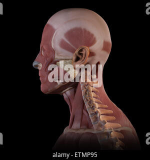 Conceptual image of the muscles of the face with the cervical vertebrae visible. - Stock Photo