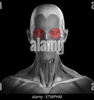 Conceptual image of the muscles of the face with the orbicularis oculi muscles highlighted. - Stock Photo
