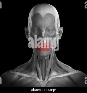 Conceptual image of the muscles of the face with the orbicularis oris muscles highlighted. - Stock Photo