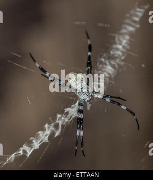 Orb-weaver spider sitting in its web - Stock Photo