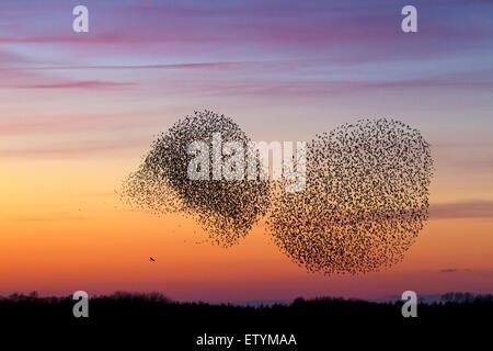 Two European starling murmurations / large flock of common starlings (Sturnus vulgaris) and bird of prey in flight - Stock Photo