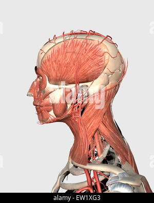 Medical illustration showing human head and neck muscles with veins, side view. - Stock Photo