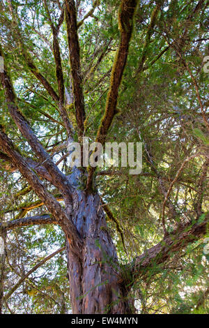 Pacific 'Western' Yew 'Taxus brevifolia'. - Stock Photo