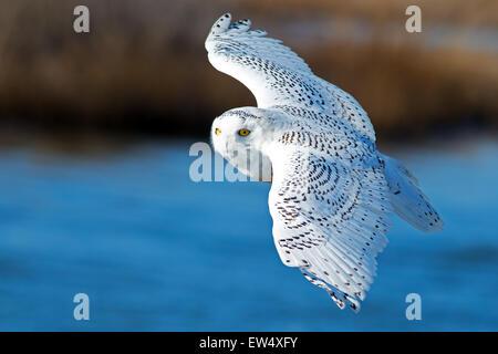 Snowy Owl in Flight - Stock Photo