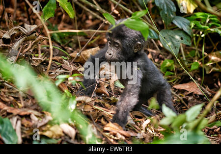 cute juvenile mountain gorilla [Gorilla beringei beringei], Bwindi Impenetrable National Park, Uganda, Africa - Stock Photo