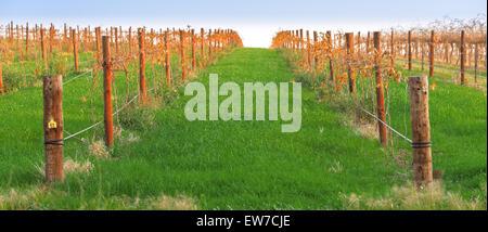 Grape vines in the Barossa valley, Adelaide, SA, South Australia, Australia - Stock Photo