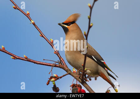 Bohemian waxwing (Bombycilla garrulus) perched in crabapple / European crab apple tree (Malus sylvestris) in spring - Stock Photo