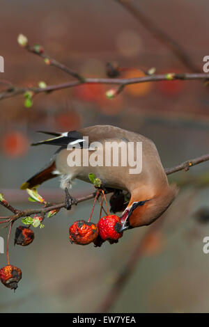 Bohemian waxwing (Bombycilla garrulus) feeding on crabapples in European crab apple tree (Malus sylvestris) in spring - Stock Photo