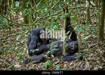 delousing Common chimpanzee, Pan troglodytes, Kibale National Park, Fortl Portal, Uganda, Africa - Stock Photo