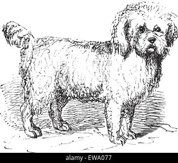 Barbet or Canis lupus familiaris, vintage engraving. Old engraved illustration of a Barbet. - Stock Photo