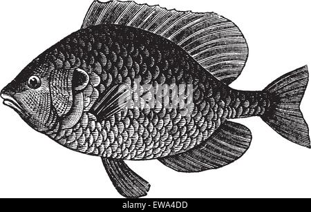 Pumpkinseed Sunfish or Lepomis gibbosus, vintage engraved illustration. Trousset encyclopedia (1886 - 1891). - Stock Photo