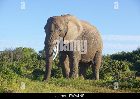 Close encounter with an elephant in Addo Elephant National Park, South Africa. - Stock Photo