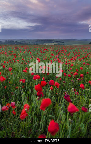 Poppy field at South Downs National Park, Brighton, West Sussex, England, UK - Stock Photo