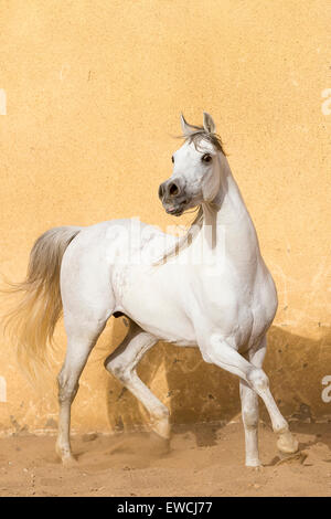 Arabian Horse. Gray stallion trotting in a paddock. Egypt - Stock Photo