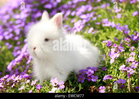 Dwarf Rabbit, Lionhead Rabbit. White young in grass with blue flowers. Germany - Stock Photo