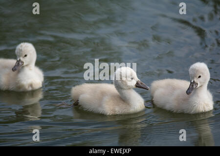 Three young Mute swan (Cygnus olor) cygnets swimming on the surface of a pond. - Stock Photo