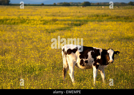 Southport, UK. 24th June, 2015. At Suttons Marsh you will find sunlit cows feeding on the coastal grazing marsh, - Stock Photo