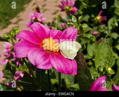 Brimstone butterfly (gonepteryx rhamni) on pink dahlia. - Stock Photo