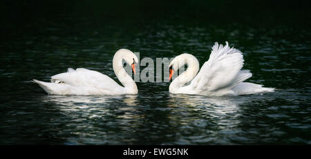 Two beautiful swans looking at each other and shining on the dark water - Stock Photo