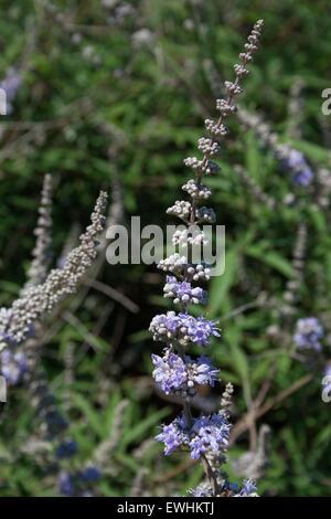 Closeup of Chaste Tree / Monk's Pepper blossoms (spice /herb) branch sp. Vitex agnus-castus 'ligaria'  Lemnos Island, - Stock Photo