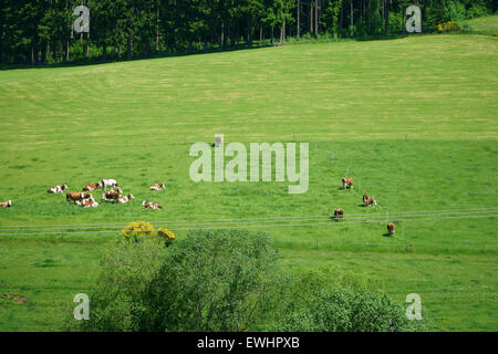 Open countryside with grazing cows in the Black Forest - Stock Photo