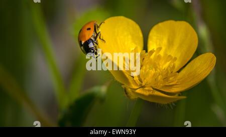 British native seven spot ladybird on a buttercup, Yorkshire, UK - Stock Photo