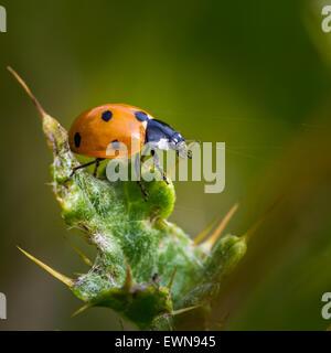 British native seven spot ladybird on a thistle, UK - Stock Photo