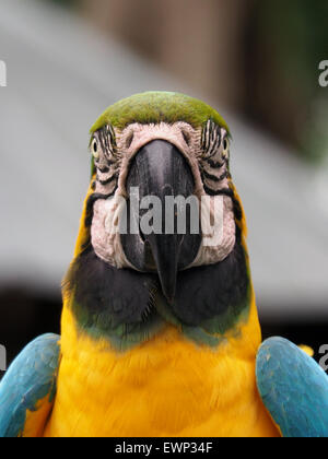 Closeup of Blue and Yellow Macaw Head On - Stock Photo