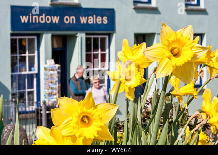 Daffodils, in, bloom, in, St David, with hikers/ tourists in background. St. David, or St. David's  is the U.K.'s - Stock Photo